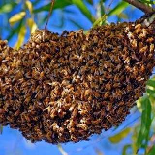 essaim-abeille